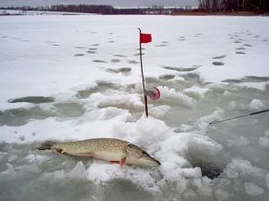 Прикорм хищной рыбы